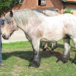 Johan met zijn grote liefde, zijn trekpaarden.