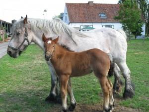 Brabants trekpaard met veulen.